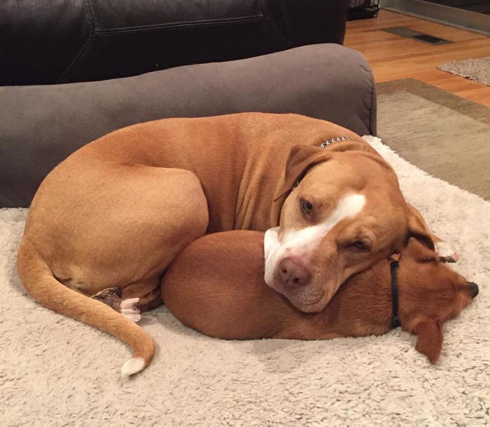 merrill-and-taco-big-small-dog-friendship-2