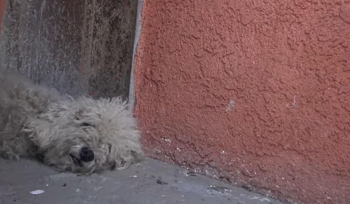 yankee poodle