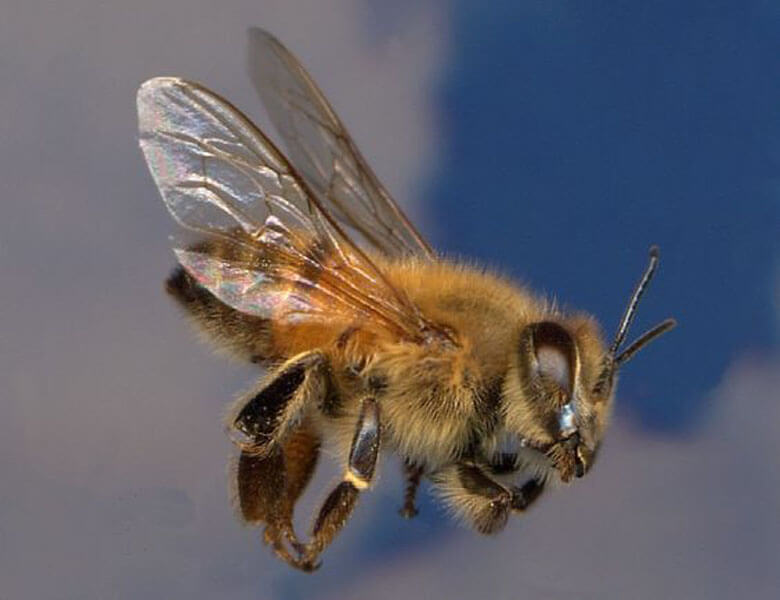 Africanized Honey Bee pin