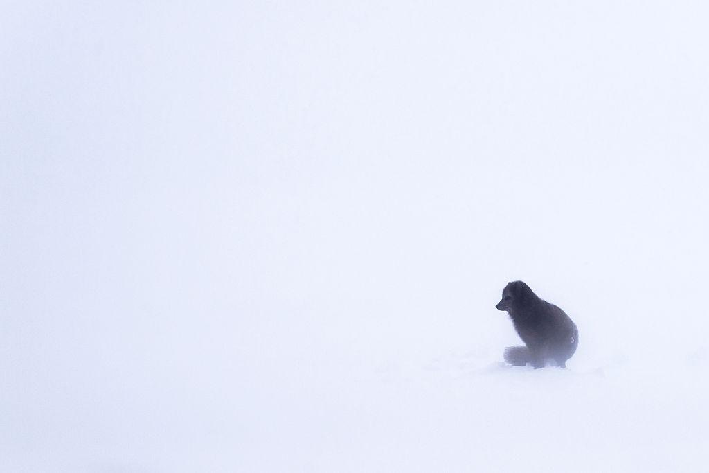 arctic fox rescue in canada on glacier