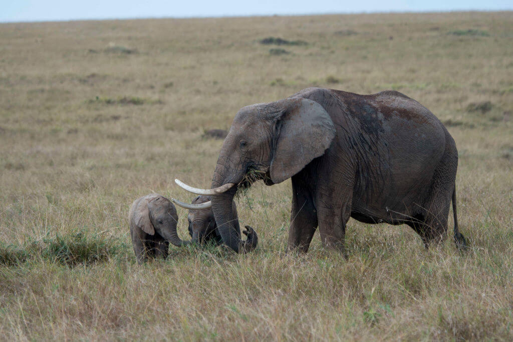 African elephant with babies in the grasslands of the Masai