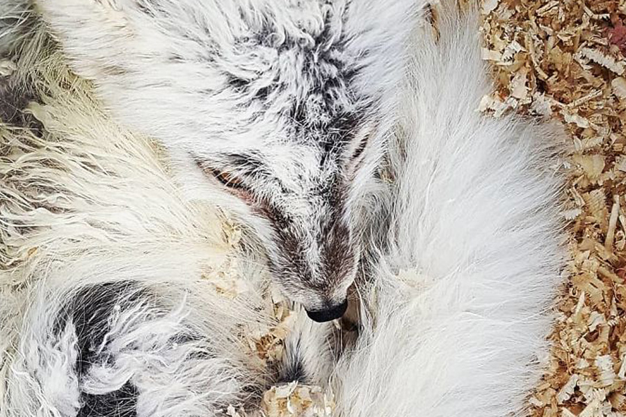 arctic fox coming into shore after rescue