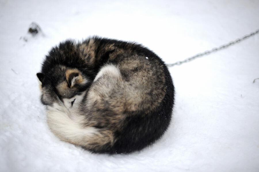 chained husky sleeping outside