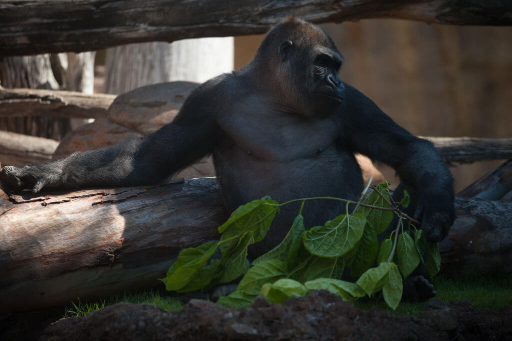 Echo is seen resting in his enclosure at Fuengirola Bioparc