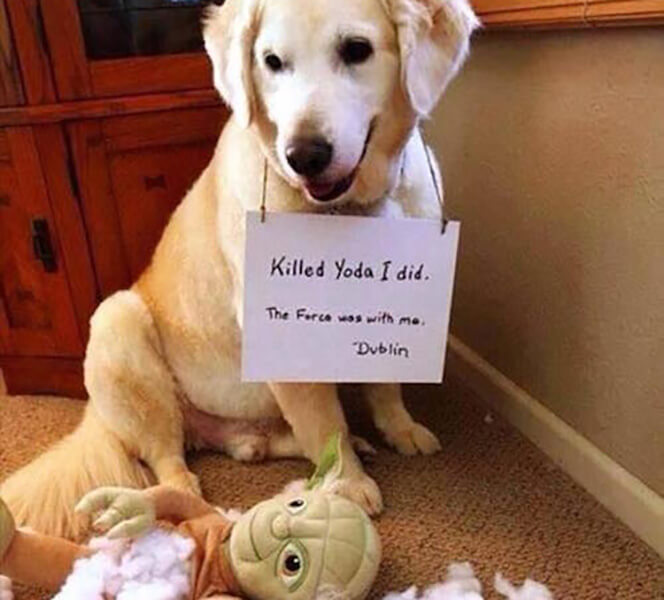 guilty-dogs-yoda-24586.jpg