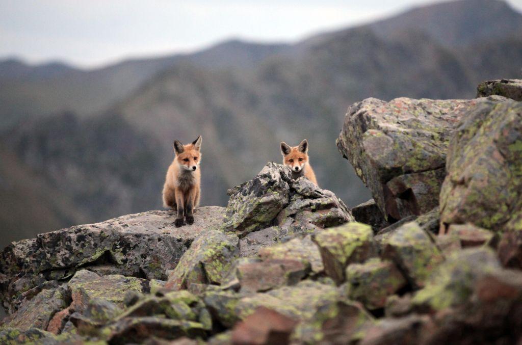fox-wild