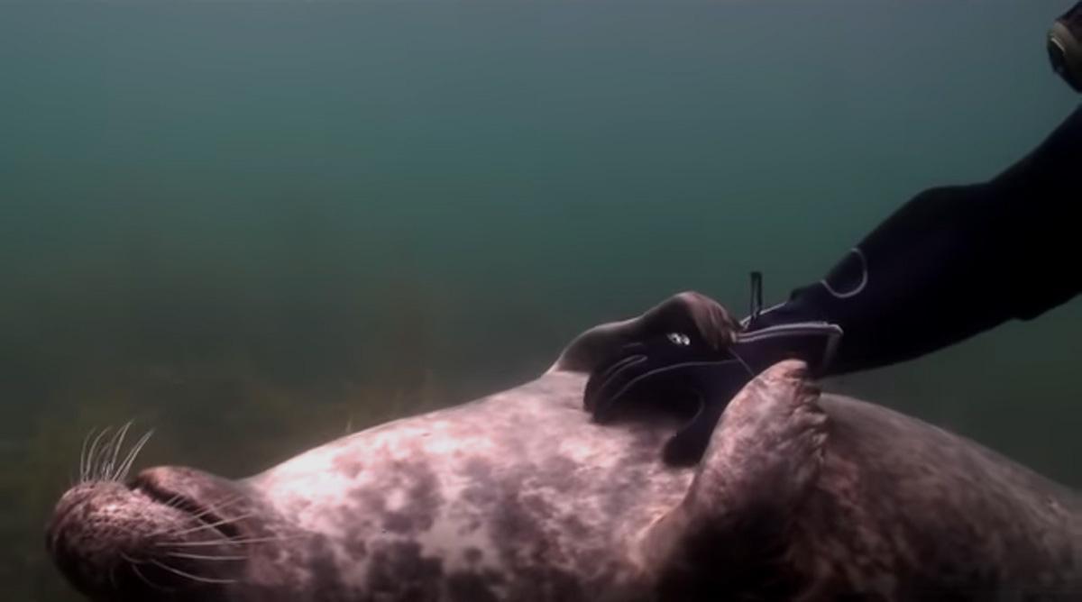 scuba-seal-encounter-22-seal tummy rub underwater