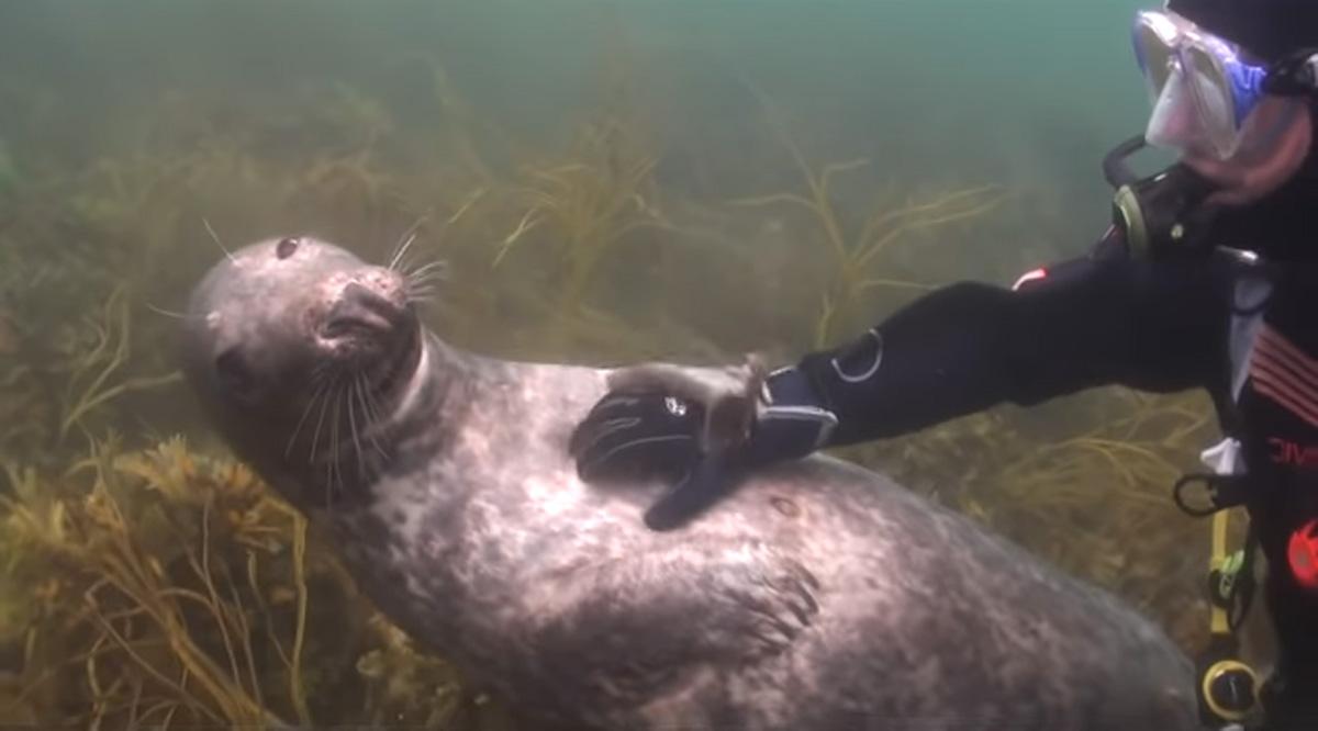 scuba-seal-encounter-23-seal smile tummy rub