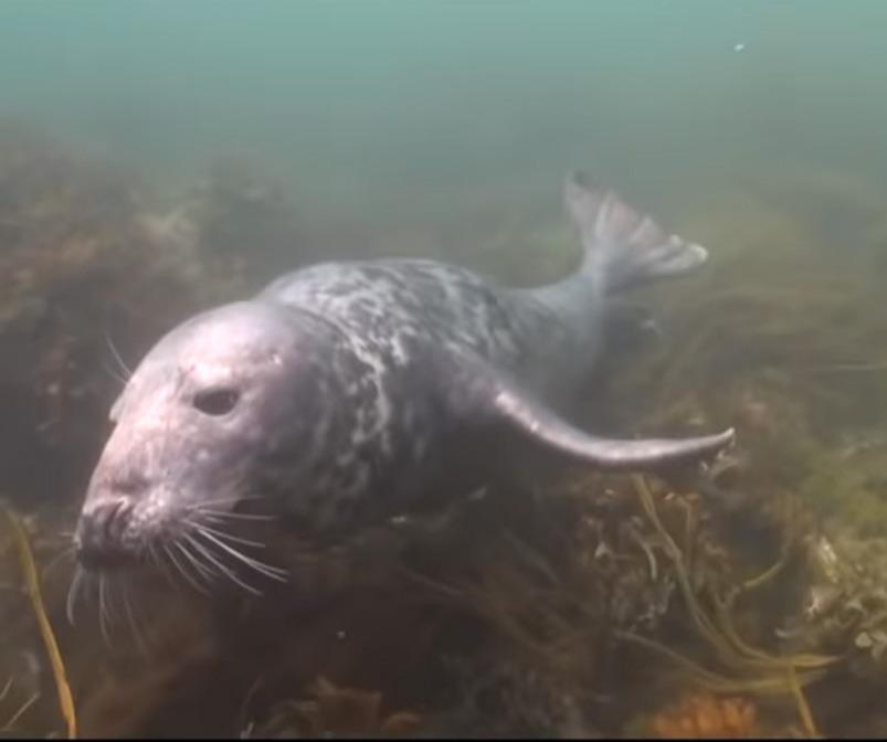 scuba-seal-encounter-8-seal swimming underwater