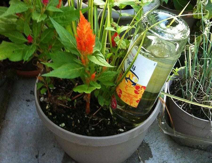 Wine_Bottle_To_Water_Plants