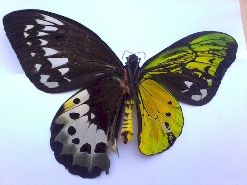 butterflywith male and female characteristics