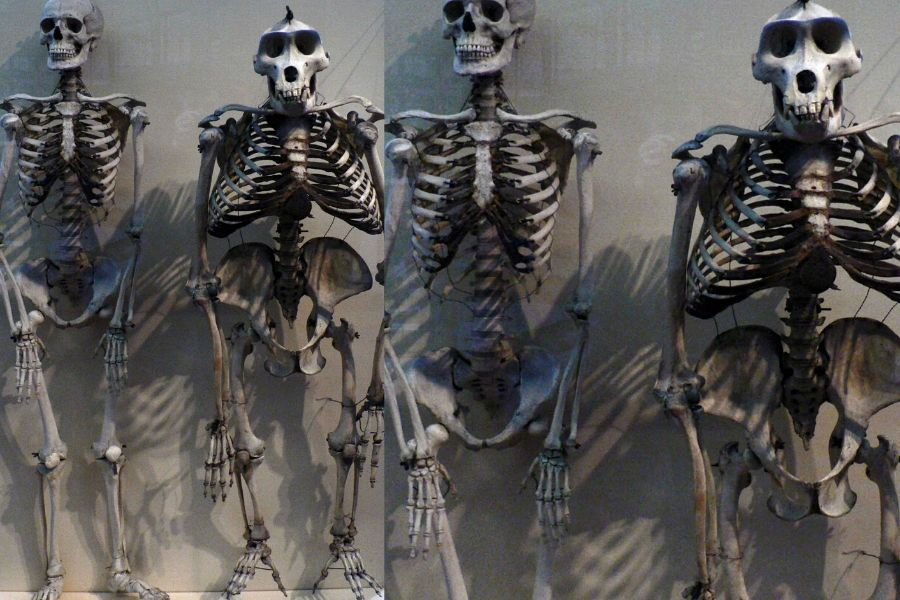 human and gorilla skeletons