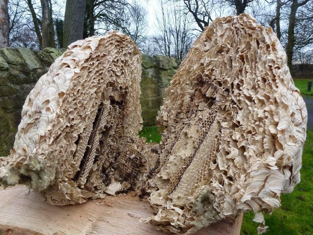 massive wasp nest cut in half