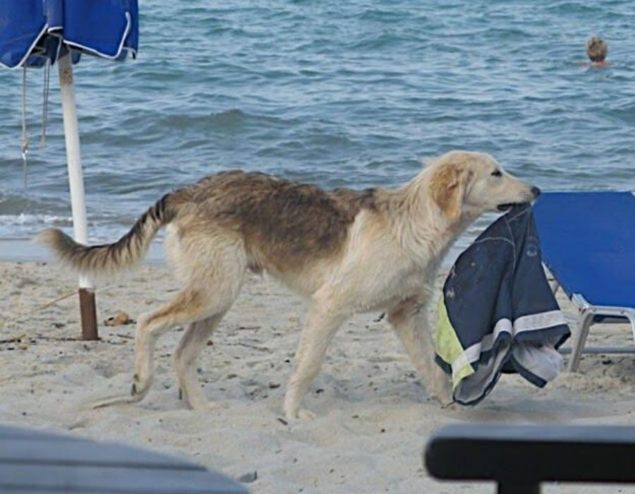 dog with a bathing suit that doesn't belong to him