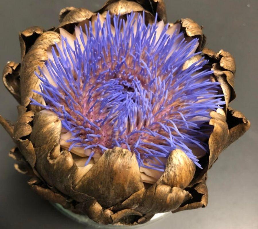 old artichoke grew into flower