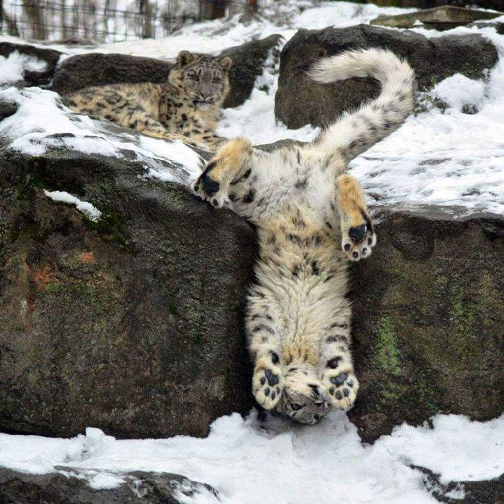 a leopard upside down