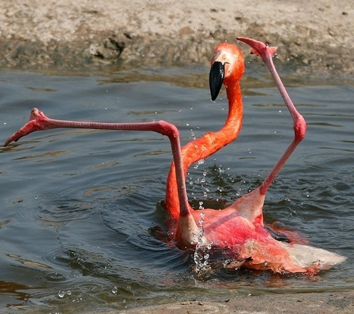 a clumsy flamingo that fell down