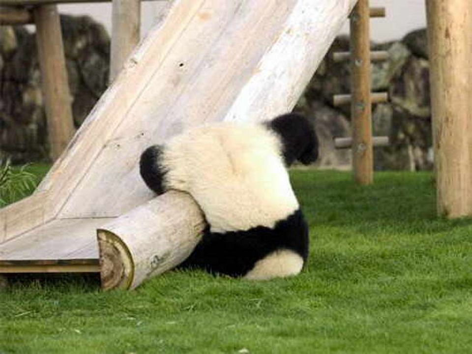 clumsy panda falls off slide