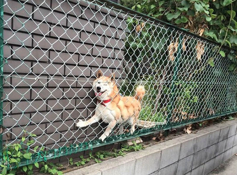 happy dog stuck behind fence