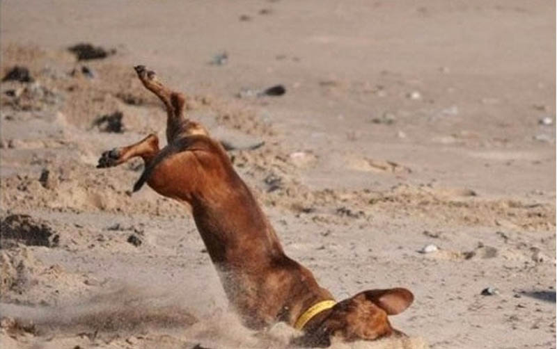 a dog face planting in the sand