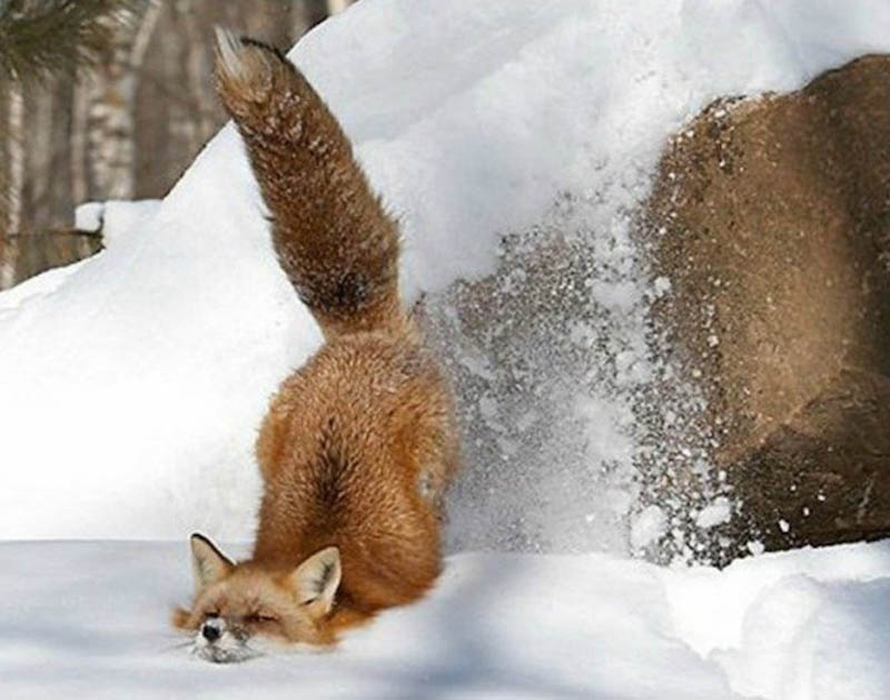 fox faceplanting in snow