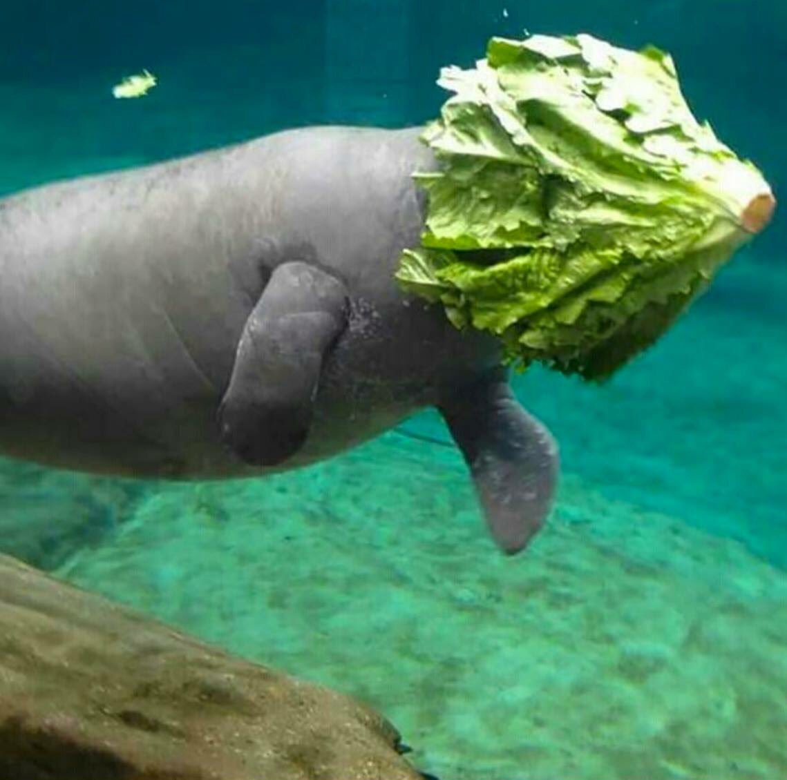 manatee failing to eat lettuce