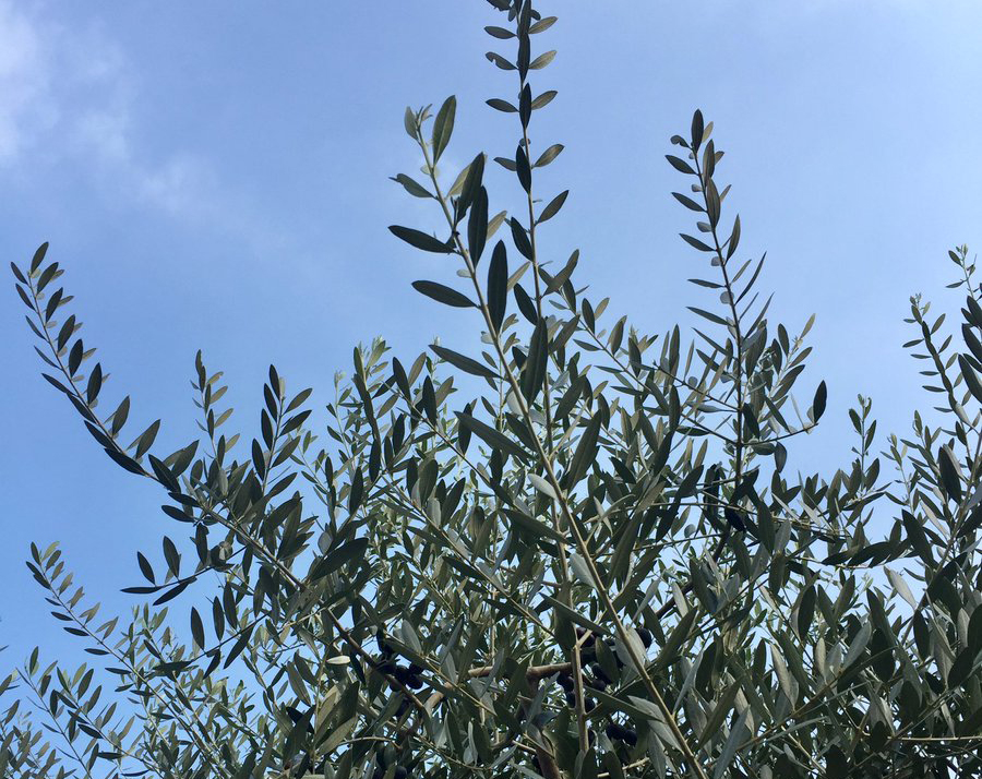 Branches of a Russian olive tree stand out against the sky.