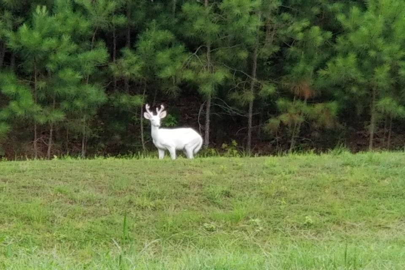 albino deer outside
